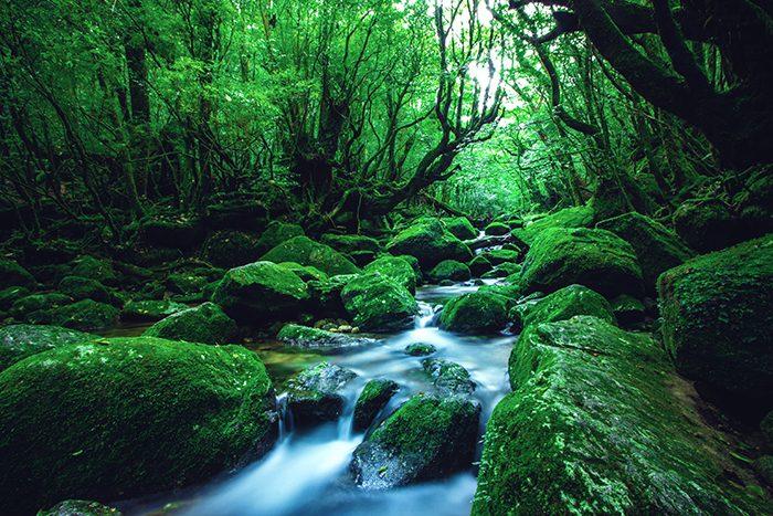 yakushima-regenwald