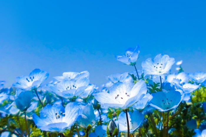 blaue blumen in uminonakamichi