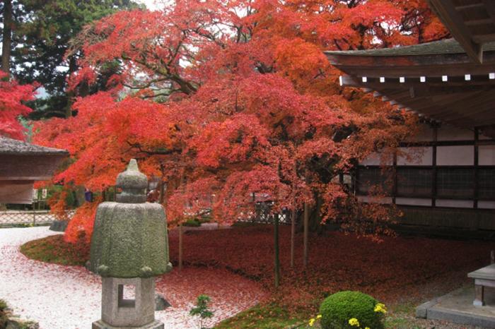 japanische ahorn in temple