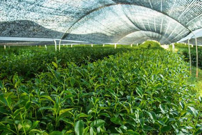 grüntee in der plantage